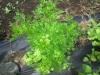 花芽(コリアンダー)