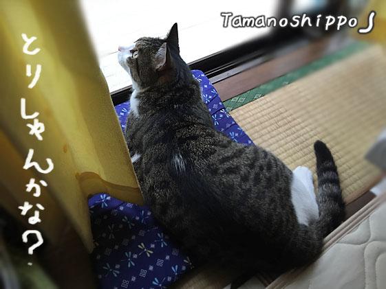お外を眺める猫(ちび)