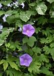 朝顔紫(朝)