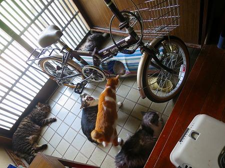 15803 玄関の猫