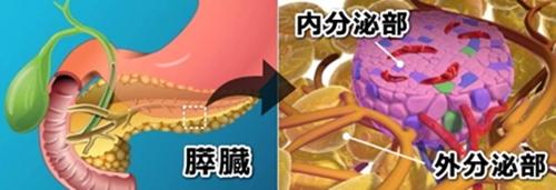 pancreas[1]