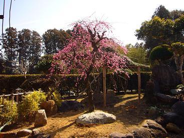 2015庭の梅
