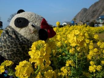 沼津市井田の菜の花