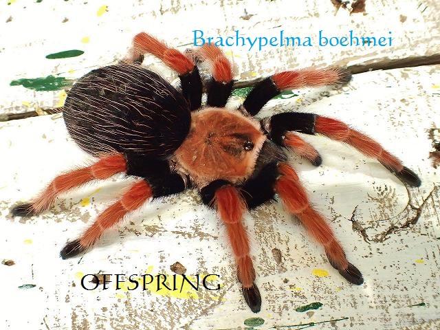 Brachypelma boehmei 02