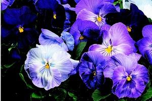 Pansies_Viola_X_Wittrockiana.jpg