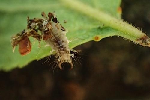 クサカゲロウ幼虫