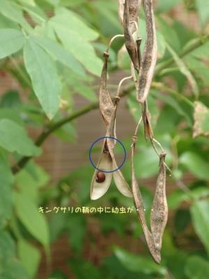 キングサリ/カネタタキ