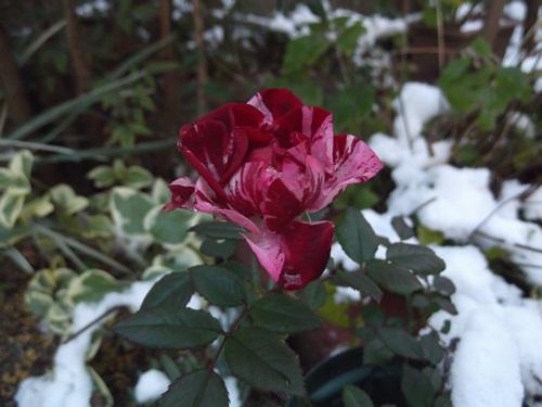 20140102むくげさんの薔薇