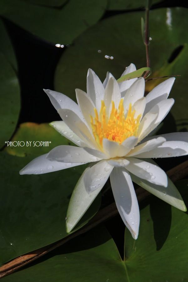 純白の睡蓮