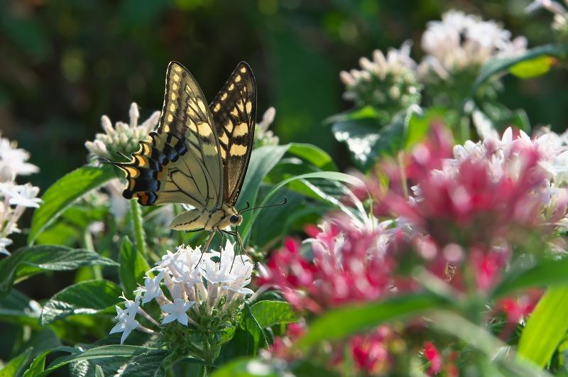 あわじ花さじき 蝶々