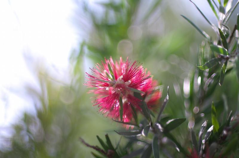 明石海峡公園 ブラシの木