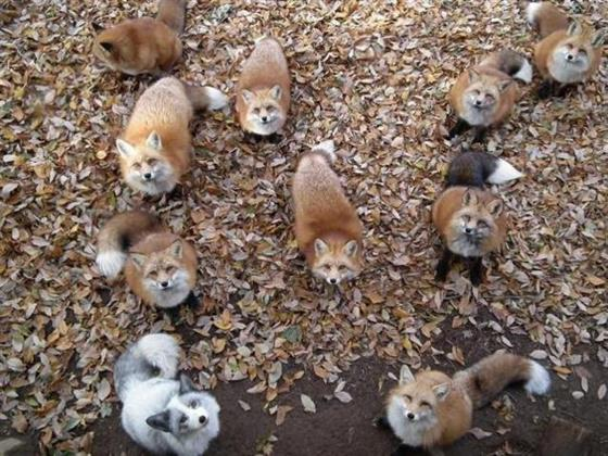 foxvil_s1.jpg