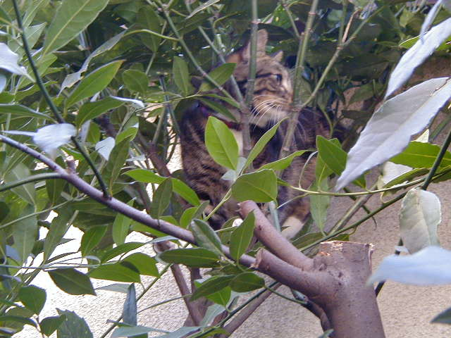 月桂樹とピッコロ 猫の木登り1