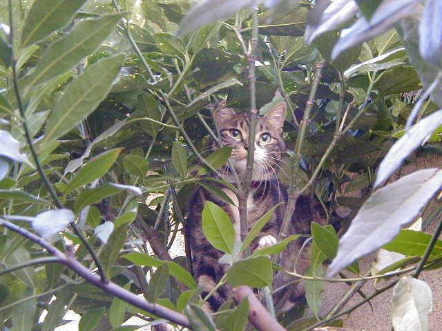 月桂樹とピッコロ 猫の木登り2