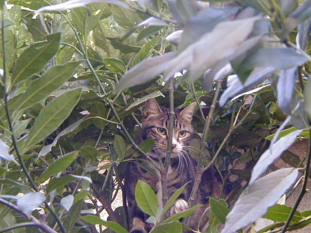 月桂樹とピッコロ 猫の木登り3