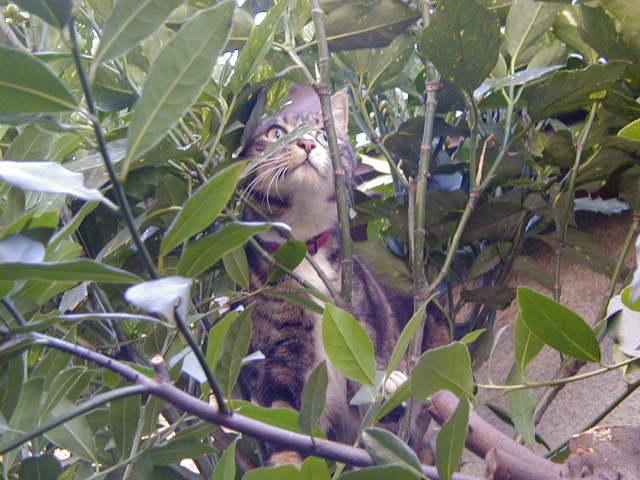月桂樹とピッコロ 猫の木登り4