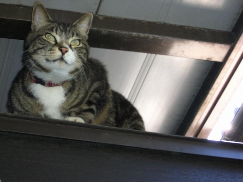 にこにこ猫 ピッコロ