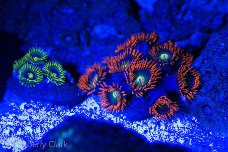 Orphek-Azurelite-The-secret-to-good-reef-photography.jpg
