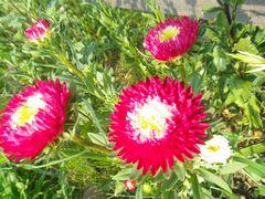 [写真]受付ハウス前の花壇に咲いたアスター(エゾギク)
