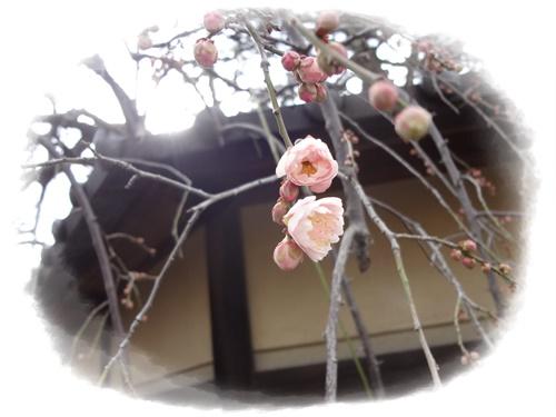 枝垂れ梅咲き始め1
