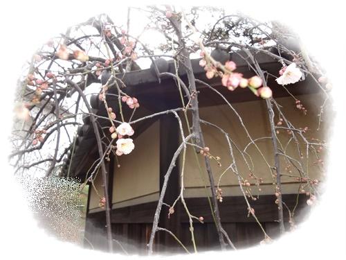 枝垂れ梅咲き始め2