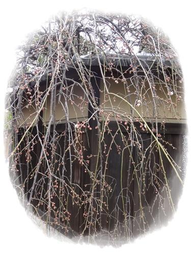 枝垂れ梅蕾多し