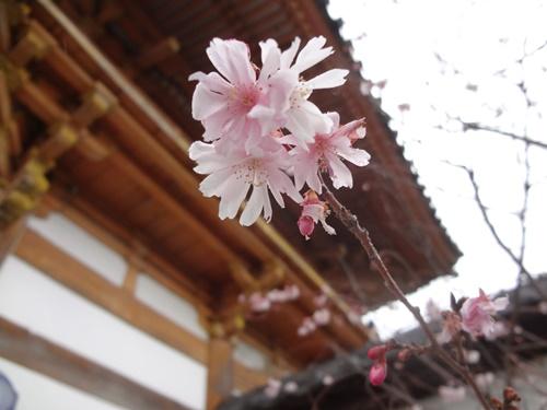 総持寺の寒緋桜