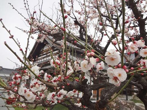 総持寺の梅