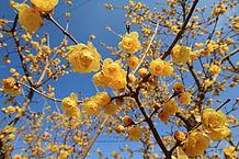 Chimonanthus_praecox_001.jpg