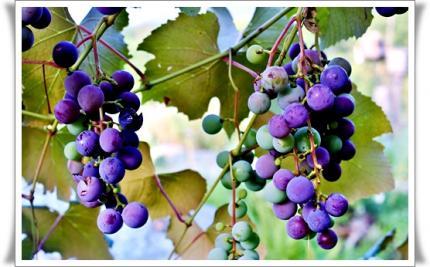 庭の葡萄も色づいて