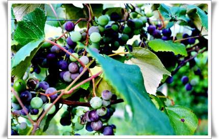 今年は葡萄の当たり年?