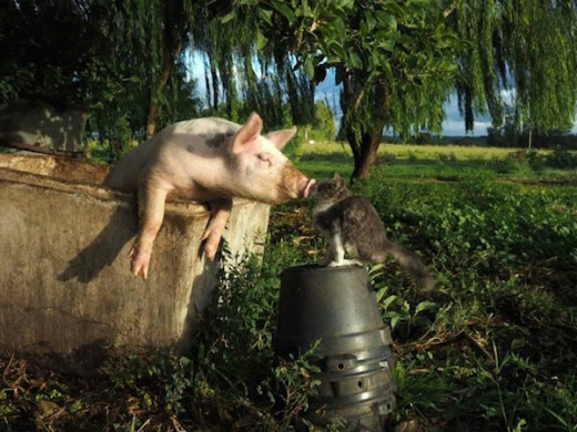 s-722-4猫と豚