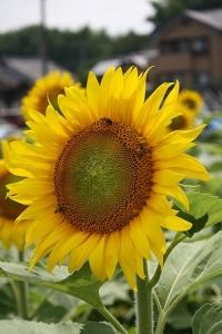 向日葵と蜜蜂2