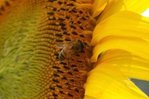 向日葵と蜜蜂3