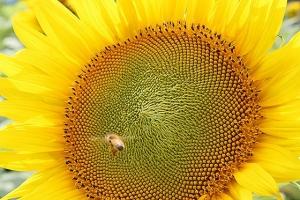 向日葵と蜜蜂4