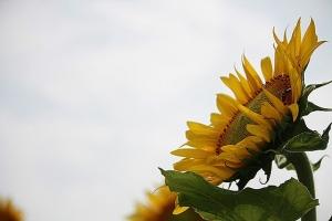向日葵と蜜蜂5