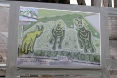 2015善通寺の田んぼアート10