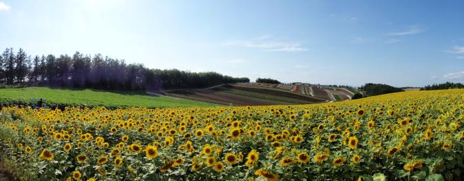 四季彩の丘のひまわり畑(パノラマ)
