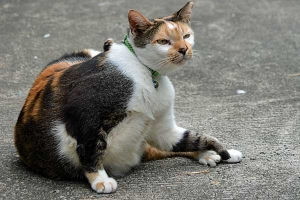 Fat Cat of Singapore