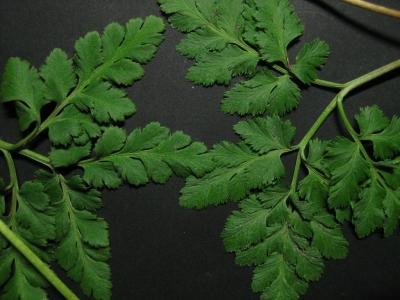 アイフユノハナワラビの栄養葉羽片