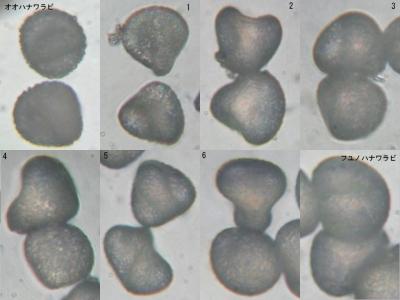アイフユノハナワラビ群の胞子