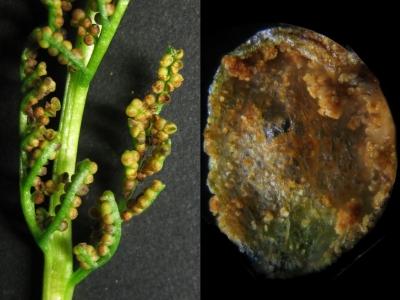 石化個体の胞子葉と胞子