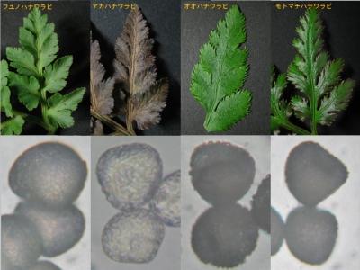基本4種の羽片と胞子