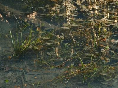 冬期のハタベカンガレイ
