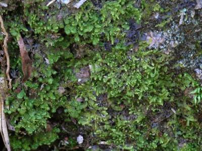 苔類の混生群落