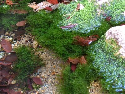 湧水泉のフジウロコゴケ