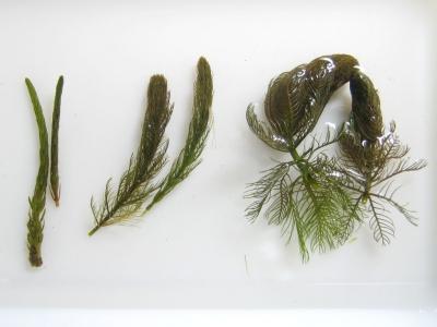 フサモ属3種の殖芽