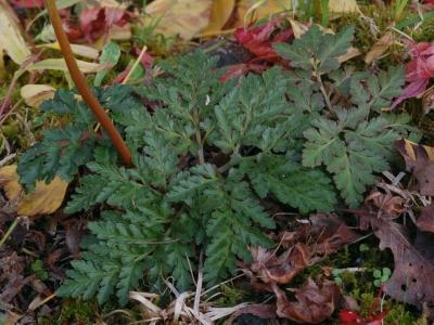 モトマチハナワラビ×フユノハナワラビ 栄養葉
