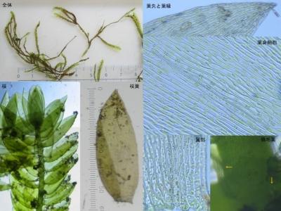 不明蘚類の細部