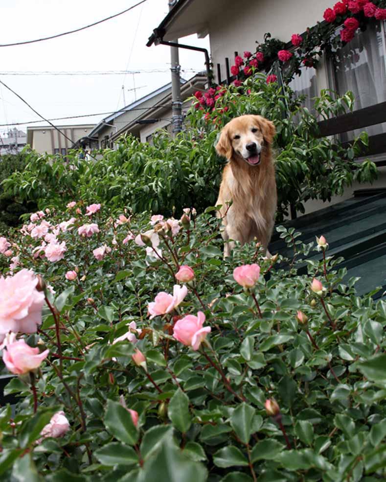 犬とバラの日々(7) 0514